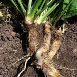 Horseradish Health Benefits