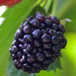 4 Good Reasons You Should Consider Eating Raw Blackberries