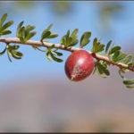 11 Health Benefits of Argan Oil