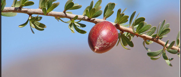 kernels of the argan tree