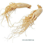 Wild ginseng roots