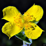 The Benefits and Side Effects of St. John's Wort